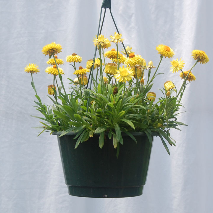 You are here: Home > Products > Strawflower